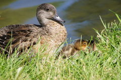 flock Royaltyfri Fotografi
