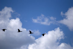 Flock. In a blue sky with clouds Stock Photos