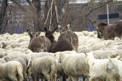 Flock. The flock of sheep, donkeys and goats departs Royalty Free Stock Photo