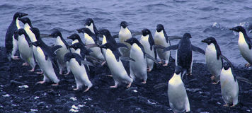 Flock of Adelie penguins Royalty Free Stock Image
