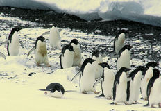 Flock of Adelie penguins Stock Image