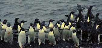 Flock of Adelie penguins, coming out of the water Royalty Free Stock Images