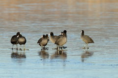 Flock of adult coots Royalty Free Stock Image