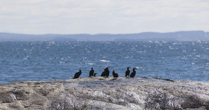 Flock of Albatrosses sit on rock at Bingi Bingi pount.NSW. Australia. Stock Photos