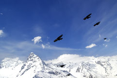 Flock of Alpine Chough Pyrrhocorax graculus flying in winter s Royalty Free Stock Images