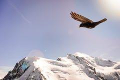 Alpine Chough Pyrrhocorax graculus flying against Alps mountai stock photos