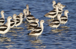A flock of American avocets (Recurvirostra americana) in shallow water Royalty Free Stock Images