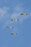 Flock of American White Pelican Flying in a Blue Sky Stock Images