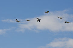 Flock of American White Pelican Flying in a Cloudy Sky Stock Image