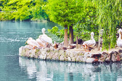 Flock of American White-Pelican's. Stock Photography