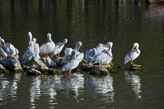 Flock of American White Pelicans. American White Pelicans Pelecanus erythrorhynchos perched on rocks in Lake Chapala, Jocotopec, Jalisco, Mexico Royalty Free Stock Photos