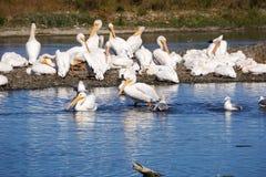 A flock of American white pelicans, Baylands Park, Palo Alto, San Francisco bay area, California stock image