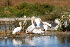 A flock of American white pelicans, Baylands Park, Palo Alto, San Francisco bay area, California royalty free stock image
