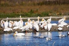 A flock of American white pelicans, Baylands Park, Palo Alto, San Francisco bay area, California royalty free stock photo