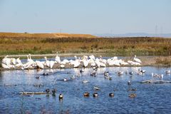 A flock of American white pelicans, Baylands Park, San Francisco bay area, Palo Alto, California royalty free stock photos