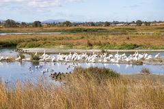 A flock of American white pelicans, Baylands Park, San Francisco bay area, Palo Alto, California royalty free stock photography
