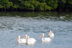 Flock of American white pelicans floating together in turquoise water with tropical foliage in background and copy space above. Gathering of five 5 American royalty free stock photo
