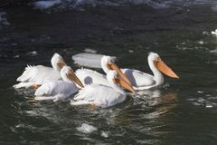 Flock of American White Pelicans. Swimming Stock Photos