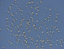 Flock of American White Pelicans Stock Photo