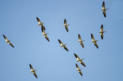 Flock of American White Pelicans Flying in a Blue Sky Stock Images