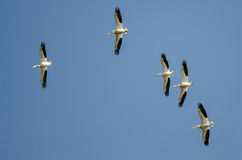 Flock of American White Pelicans Flying in a Blue Sky Stock Image