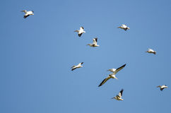 Flock of American White Pelicans Flying in a Blue Sky. Flock of American White Pelicans Flying in a Clear Blue Sky Royalty Free Stock Photography