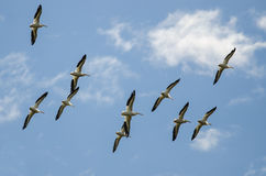 Flock of American White Pelicans Flying in a Blue Sky. Flock of American White Pelicans Flying in a Cloudy Blue Sky Royalty Free Stock Image