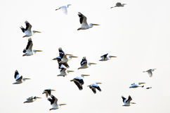 Flock of American White Pelicans Flying on a White Background Stock Photos