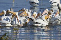 Flock of American white pelicans Pelecanus erythrorhynchos feeding on fish. Lake Chapala, Jalisco, Mexico royalty free stock image