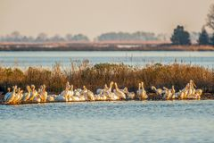 A flock of American White Pelicans rests during migration with a bald eagle in Blackwater National Wildlife Refuge.Maryland.USA stock photography