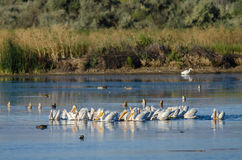 Flock of American White Pelicans Resting and Feeding in the Marsh Stock Photography