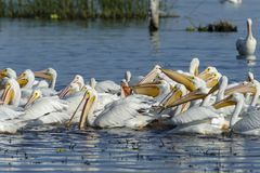 Flock of American White Pelicans swimming. Group of American white pelicans Pelecanus erythrorhynchos feeding on fish, Lake Chapala, Jalisco, Mexico Royalty Free Stock Photos
