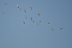 Flock of American Wigeons Flying in a Blue Sky Royalty Free Stock Photo