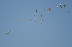 Flock of American Wigeons Flying in a Blue Sky Stock Photo