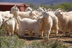 Flock of Angora goats Royalty Free Stock Photo