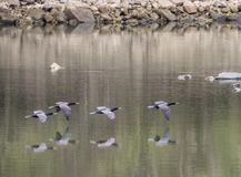 A flock of Anhingas fly over the water showing reflections. royalty free stock photos
