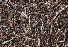 Flock of ants gather food near an anthill. A flock of ants gather food near an anthill stock images