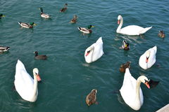 Flock of aquatic birds Royalty Free Stock Photo