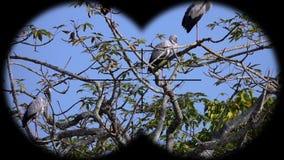 Flock of Asian Openbill Birds Anastomus oscitans Seen through Binoculars. Bird Watching at Wildlife Safari. Shot with a Sony RX10 IV fps 59,94 FHD stock video footage