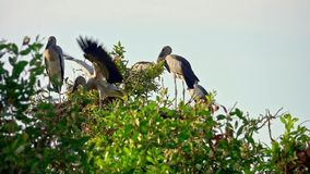 Flock of Asian Openbill Birds Anastomus oscitans Sitting on Tree at Thale Noi Waterfowl Reserve Lake, Thailand. Shot with Sony RX10 IV 29,97 FPS FHD stock video