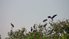 Flock of Asian Openbill Birds Anastomus oscitans Sitting on Tree at Thale Noi Waterfowl Reserve Lake, Thailand. Shot with Sony RX10 IV 29,97 FPS FHD stock video footage