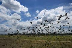 Asian Openbill Stork - Anastomus oscitans, Sri Lanka stock photos