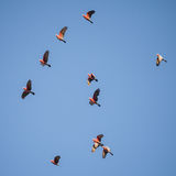 Flock of Australian Galahs Flying Royalty Free Stock Images