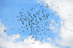 A flock of Australian Ibis in blue skies Stock Images