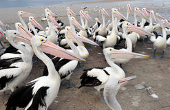 Flock of Australian pelican, white bird, australia Royalty Free Stock Images