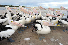 Flock of Australian pelican, white bird, australia Royalty Free Stock Photo