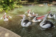 Flock of Australian pelican Pelecanus conspicillatus. Flock of Australian pelicans Pelecanus conspicillatus in the pond waiting for feeding royalty free stock photos