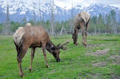 Flock av älgen, Alaska royaltyfri bild