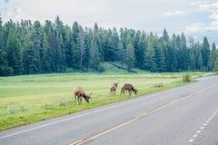 Flock av älgen som nära betar med vägen i den Yellowstone nationalparken arkivfoto