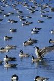 Flock av änder på dammet, Pierre, SD Arkivfoto
